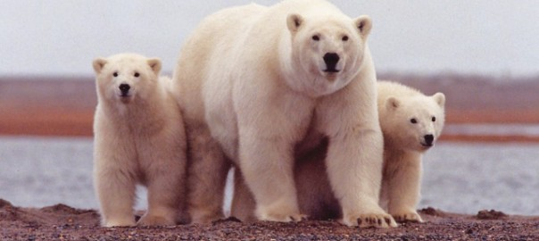 Polar Bears Face Starvation And Cub Loss Due To Sea Ice Loss