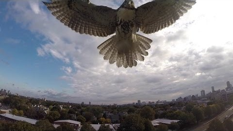 Not a Fan of Quadcopters and Drones? Neither is This Badass Hawk